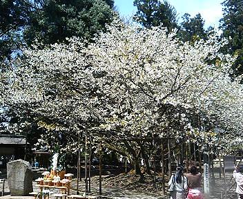 会津薄墨桜